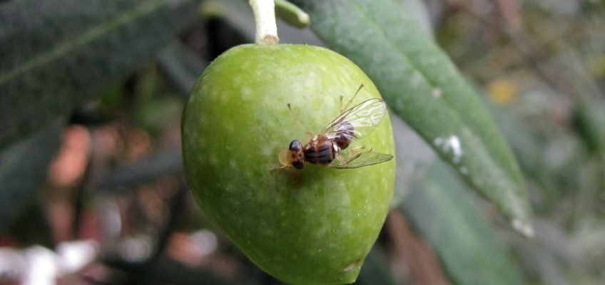 MOSCA DEL OLIVO (Bactrocera oleae)
