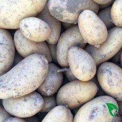 Cuándo plantar patatas
